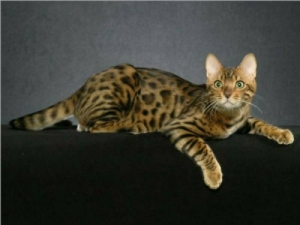Beckam - Rainforest Bengals