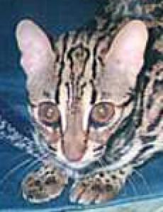 Bengal - eyes