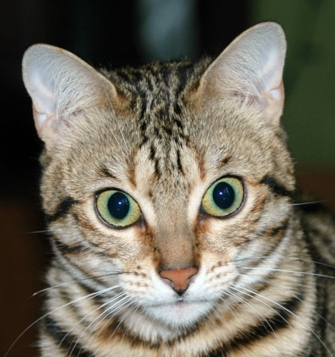 Bengal - ears
